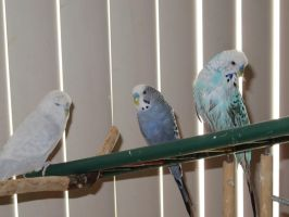 Three Shades of Budgie 2 by Windthin