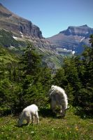 Goats Galore by MyPhotoParadise