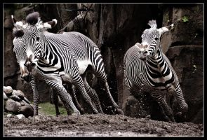 Zebra Chase by Karl-B