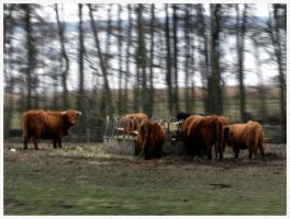 Cattle by nadda1984