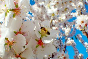 Almond Blossom Bee-E by OPTILUX