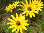 Black-eyed Susans 1 by celticpath