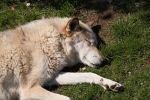 Relax Series - Timber Wolf by stromstoerung