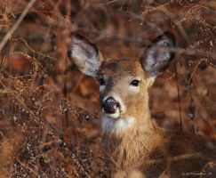 Shiney Nosed Doe by natureguy