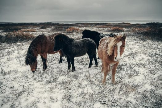 Iceland Horses by Eredel