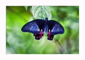 Butterfly 6 by calimer00