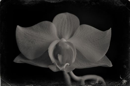 orchid. by vw1956