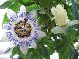 Passion Flower by king-herod