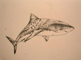 tiger shark by quinnk