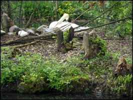 Female swan and her nest 1 by Mr-Sense