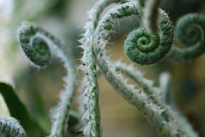 fiddleheads by lioncourt7