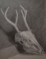 Drawing of a Deer Skull -  FINISHED by stories-in-paper