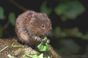 Watervole by mansaards