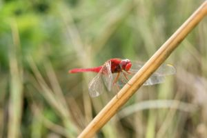 dragonflies VII by dianapple