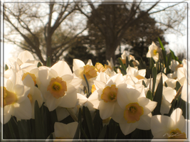 The Daffodils are Staring by MadejyalookGraphics