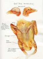 Quail Study by Deadsound