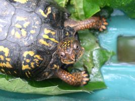 Found this little turtle in our yard. 2 by tigernose123
