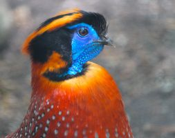 Temminck's Tragopan by WilliamJCovello