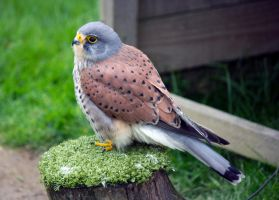 Kestrel by Steve-FraserUK