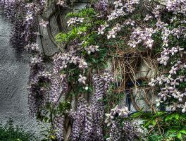Wisteria and Clematis HDR by JimPMM