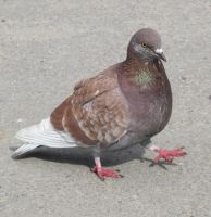 Brown pigeon by BioGear