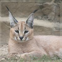 Caracal 5 by Globaludodesign