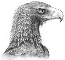 Wedge-Tailed Eagle commission by Black-Charizard