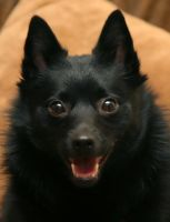 Schipperke 4 by photoboater