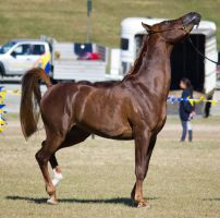 STOCK - Gold Coast Show 027 by fillyrox