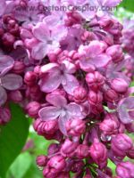 Lilacs in rain by The-Cute-Storm