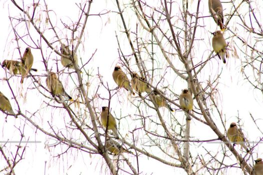 Waxwing Party by Assinmypants