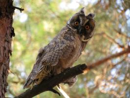 Owl by coolpix4200