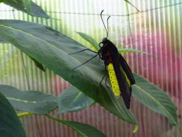 Butterflies: Black and Yellow by somnia-stock