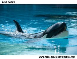 Orca 1 by Ceta-Stock