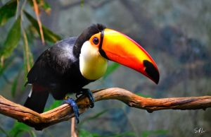 Toco Toucan by Momenti-Photo