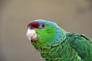 Lilac-Crowned Amazon 4 by MorrighanGW
