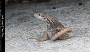 Curly Tail Lizard Stock 3 by Cassy-Blue