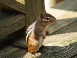 Curious Chipmunk by wulfdragyn
