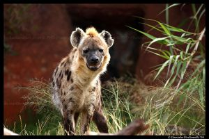 Hyena by TVD-Photography