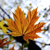 maple leaf by augenweide