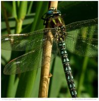 Hairy Hawker II by In-the-picture