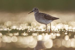 Wood sandpiper in the evening by Sergey-Ryzhkov