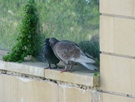 Pigeons Kiss by bibarry