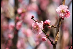 Blossomed Pink Plum I by johnchan
