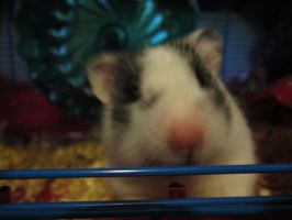 Oreo Hamster Pic 1 by InvaderRain100