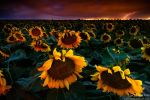 Lightning & Sunflowers by kkart