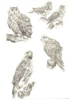 raptor studies by Natalie2000