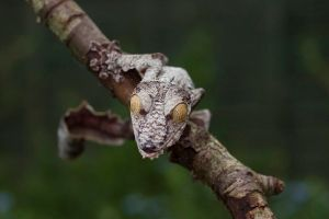 Giant leaf tailed gecko 7 by AngiWallace