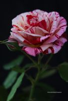 A Show Stopper - Peppermint Rose by theresahelmer