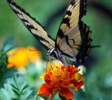 Eastern Tiger Swallowtail II by jennalynnrichards